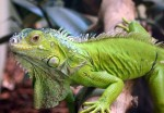 Экзотический питомец - зеленая игуана