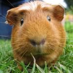 Правила содержания и уход за морскими свинками