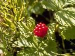 Поляника - княжеская ягода