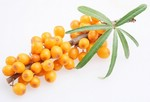 Облепиха - золотая ягода