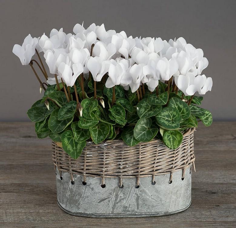 Виды комнатного растения цикламен персидский европейский