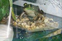 Домашний питомец лягушка