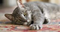 Корм для домашних кошек