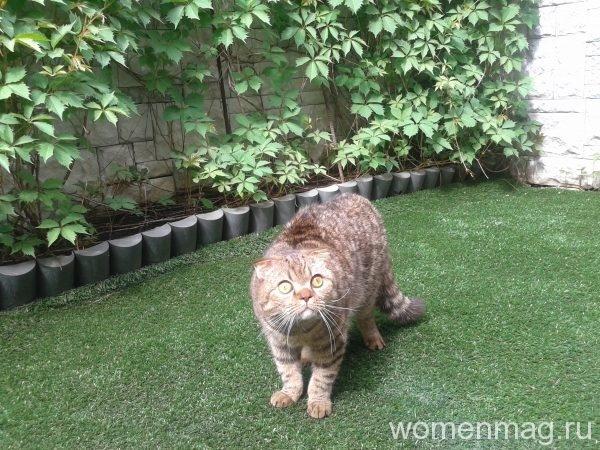 Вислоухий шотландский кот
