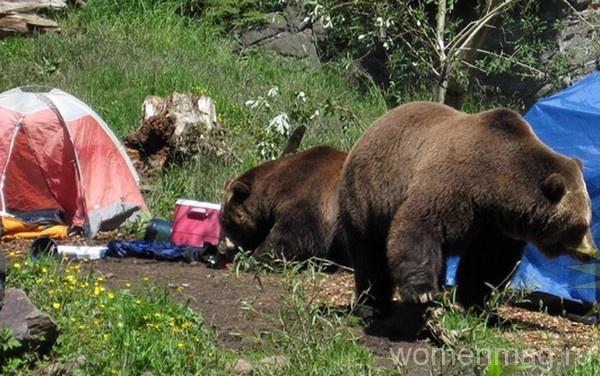 Дикие медведи в туристическом лагере