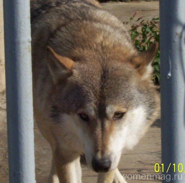 волк-житель зоосада