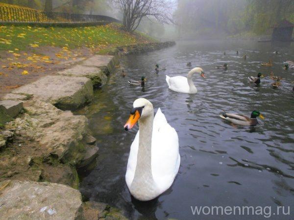Лебеди в парке Львове
